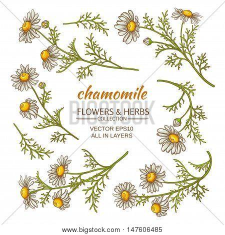 set of chamomile flowers on white background
