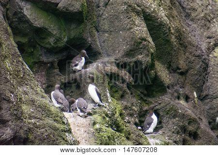Guillemot birds on sea cliffs of the Faroe Islands Uria aalge