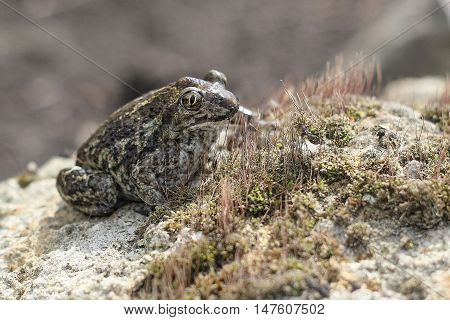 Frog (Pelobates fuscus), or earthen frog, sitting on a stone on a sunny day