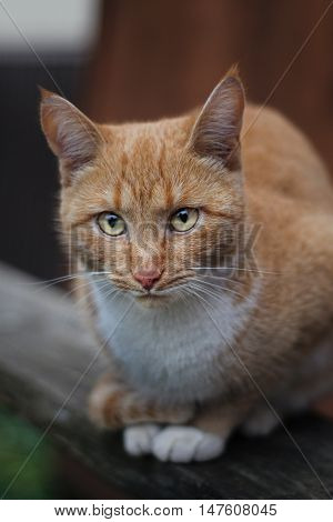 Beautiful melancholy red cat with yellow eyes