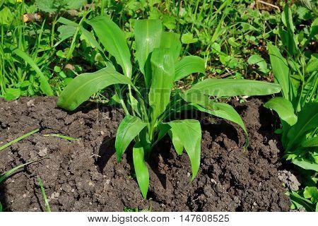 Ramson or wild garlic, lat. allium ursinum closeup