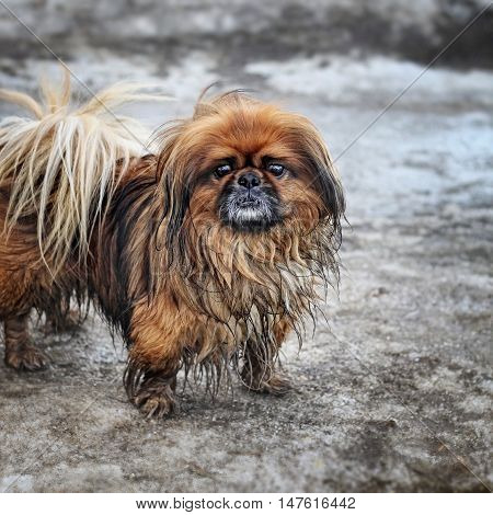 Portrait of a little red-haired shaggy dog - Pekingese