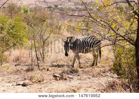 Zebra From South Africa, Pilanesberg National Park