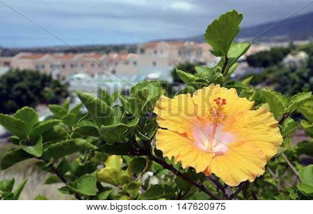 Yellow hibiscus flower in a tropical garden on Tenerife,Canary Islands,Spain.