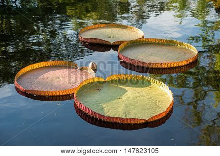 Victoria amazonica lotus water lilies floating on water
