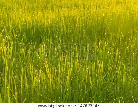 Cornfield sunset of Thailand Golden rice fields in the countryside of Thailand