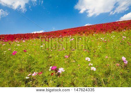 Beautiful Cosmoses field and kochias hill in autumn season at Hitachi seaside park Ibaraki prefecture Japan