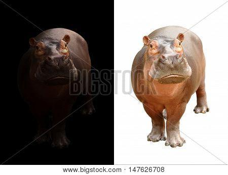 Hippopotamus On Dark And White Background