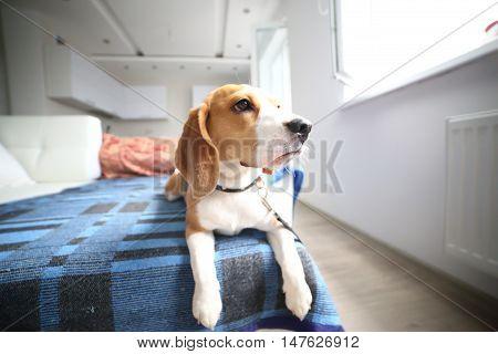Beagle Puppy Lay On Carpet