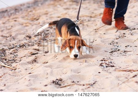 One Beagle Puppy Playing On Beach
