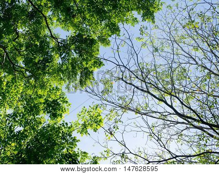 Trees. Perspective unique nature green leave view from under big green tree. Two sides of different tree one has green leaves another one has a few leaves. Natural season and environment concept.