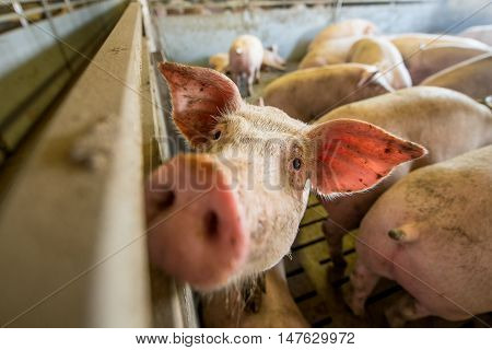 Pigs at a factory. Farming in Russia
