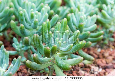 close up of sedum pachyphyllum plant in the succulent garden