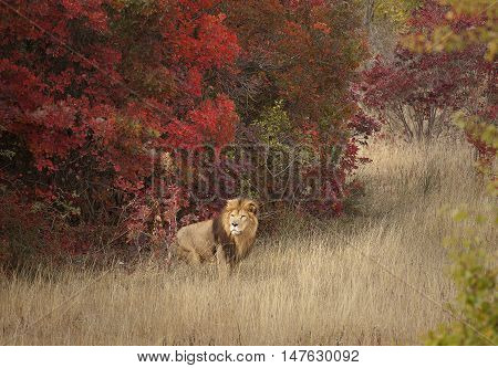 Adult lion in a familiar environment, emerging from the woods.