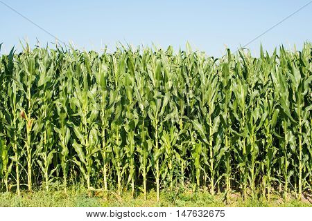 green corn growing in a farm  fodder