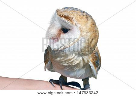 Barn Owl Tyto alba standing in front of white background