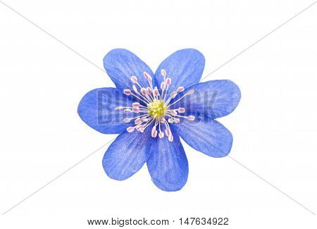 wildflower hepatica nobilis isolated on white background