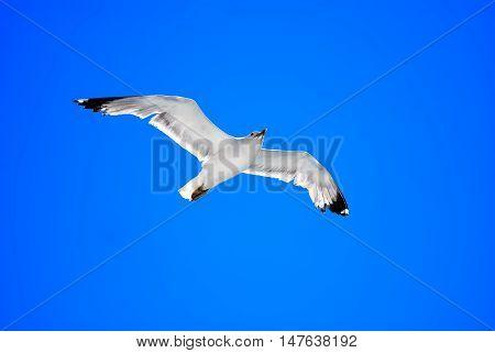 Silver gull (Chroicocephalus novaehollandiae) the most common gull seen in Australia