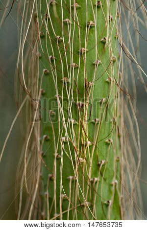 Green cactus plant with long thorns close up.