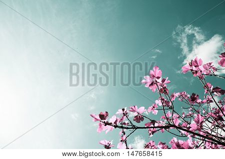 Fig tree,Pink fig tree of imaginary and fantasy fig