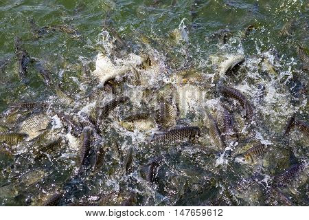 are fed a lot of fish and fight for a piece fish feed