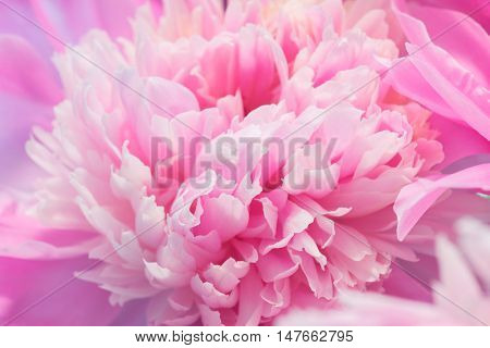 Soft Pink Peony Flower, Extreme Closeup, Abstract Spring Nature Background