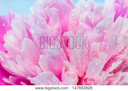 Abstract Macro Photo Of Pink Peony Flower With Shallow Depth Of Field. Natural Background