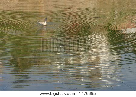 A bird washing in a still pool and making lots of golden ripples. poster