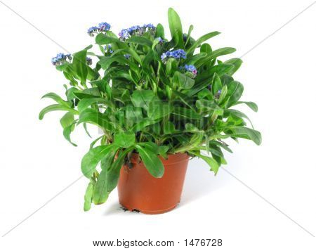 Forget-Me-Not Seedling