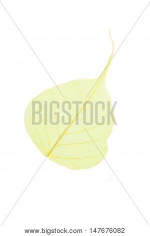 Skeleton leaf isolated on a white, close up