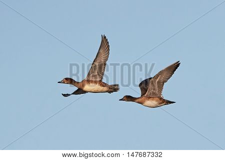 Eurasian wigeons in flight with blue skies in the background