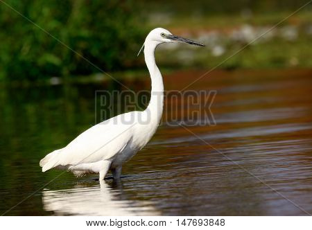 Little egret (Egretta garzetta) Sole bird standing in water