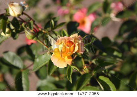 The dismissed rose bud.Slightly revealed pink bud against the background of leaves. Horizontal photo.