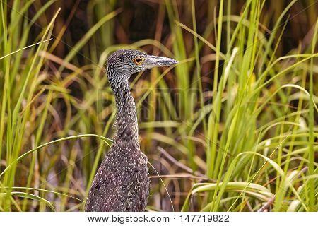 Green heron in Hilton Head Island Mithchellville Beach Park South Carolina