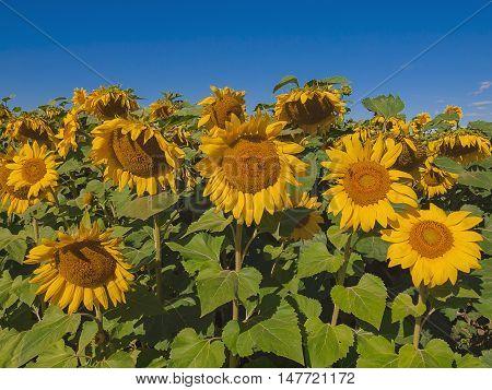 Sunflowers on blue sky background. Winnipeg. Canada.