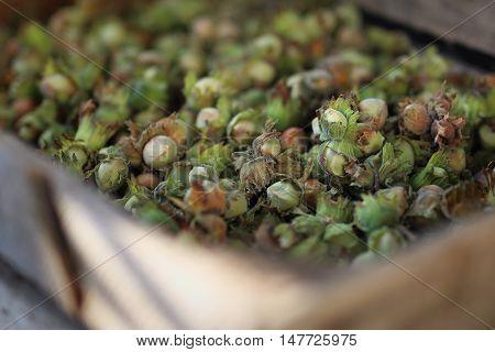 Nuts. Drying hazelnuts in a backyard kiln