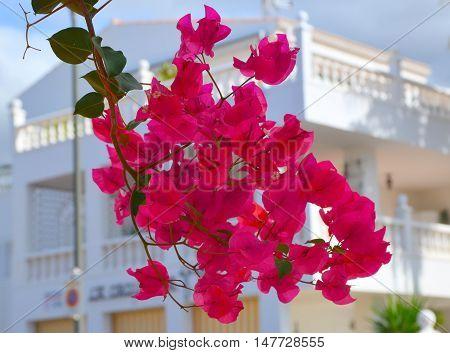Bougainvillea flowers close up.Selective focus. Blooming bougainvillea.