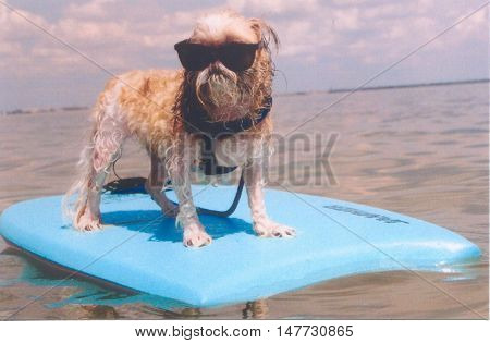 Florida Native - This little Shih Tzu can hang with the best of them with her jammer board.