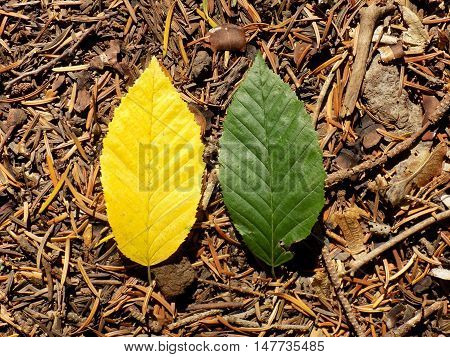 Yellow and green leaf during autumn, change color leaves
