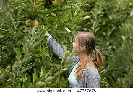 young girl picking up green apples from the tree