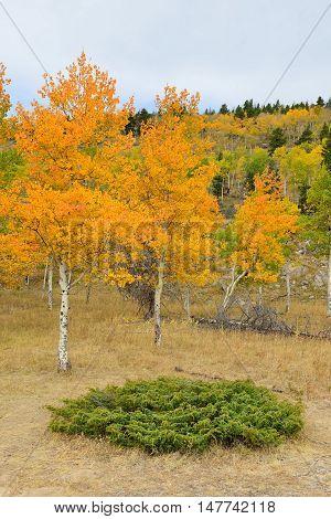 Golden And Green Aspen In The Fall Season