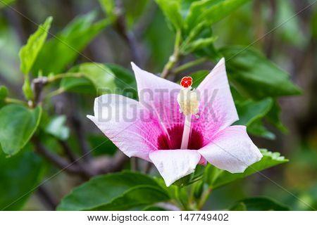 Wild Hibiscus Flower