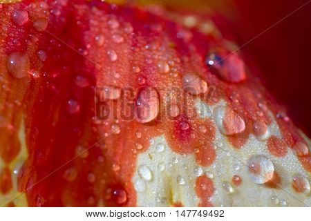 Orange Gladiolus Macro