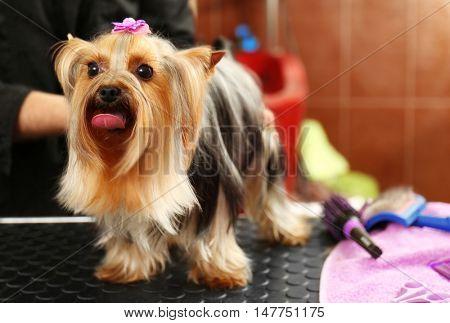Cute Yorkshire terrier in salon