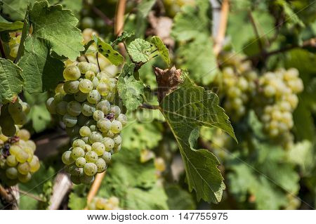 white Wine grapes in the german Region Moselle River Winningen 11