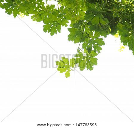 Look up to vine creeper leaves isolated on white background