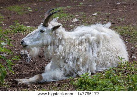Mountain goat (Oreamnos americanus), also known as the Rocky Mountain goat. Wildlife animal.