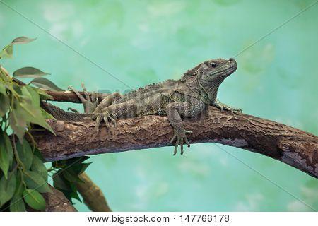Weber's sailfin lizard (Hydrosaurus weberi). Wildlife animal.