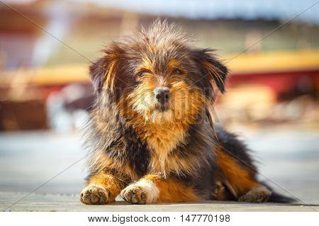 Close up Himalaya herding dog relaxing at Ganzi city street China