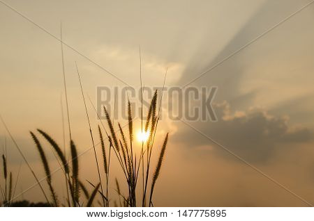 beautiful poaceae grasses in the meadow during the sunset.